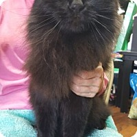 Domestic Longhair Cat for adoption in Reston, Virginia - Maddie