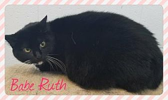 Domestic Shorthair Cat for adoption in Anderson, Indiana - Babe Ruth