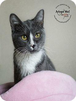 Domestic Shorthair Cat for adoption in Phoenix, Arizona - Abby