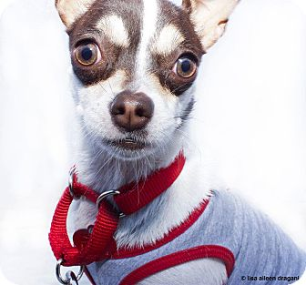 Chihuahua Mix Puppy for adoption in Los Angeles, California - HUBCAP