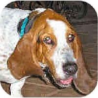Adopt A Pet :: Riggs - Phoenix, AZ