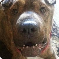 Adopt A Pet :: Marley - Barnegat Light, NJ