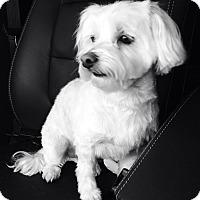 Adopt A Pet :: Dante - Commerce TWP, MI