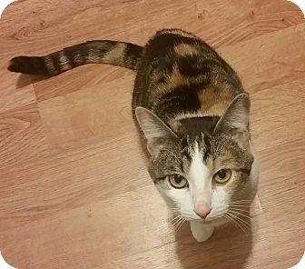 Domestic Shorthair Cat for adoption in Rochester, Minnesota - Rosie