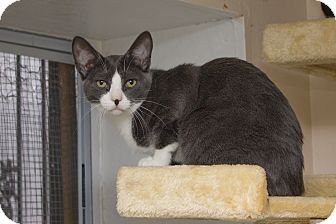 Domestic Shorthair Cat for adoption in Chicago, Illinois - Abe
