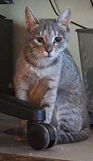 Domestic Shorthair Cat for adoption in Hayes, Virginia - Latta