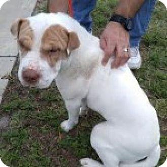 Shar Pei Mix Dog for adoption in Gainesville, Florida - Aurora