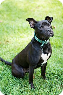 American Pit Bull Terrier/Labrador Retriever Mix Dog for adoption in Woodstock, Georgia - Dozer