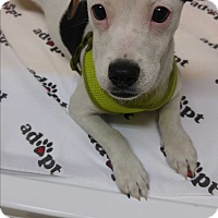 Chihuahua/Terrier (Unknown Type, Small) Mix Puppy for adoption in Morganton, North Carolina - Olive