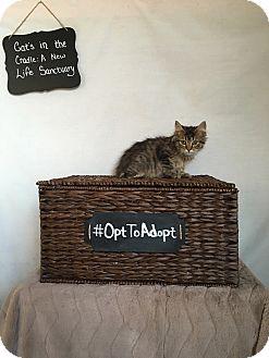 Domestic Longhair Kitten for adoption in Mosheim, Tennessee - Maggie