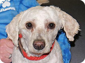 Poodle (Miniature) Mix Dog for adoption in Spokane, Washington - Bola