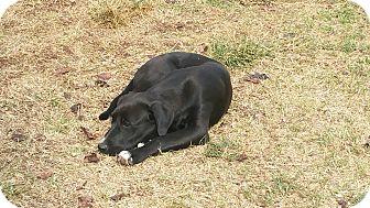 Labrador Retriever Mix Puppy for adoption in guthrie, Oklahoma - Tootsie