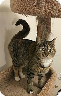 Domestic Shorthair Cat for adoption in Wasilla, Alaska - Muffin