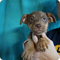 Adopt A Pet :: Kenzy - Oviedo, FL