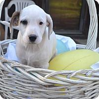 Adopt A Pet :: Cinder - Manchester, NH