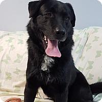 Adopt A Pet :: Bruno - Hawk Point, MO