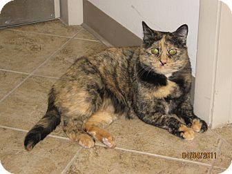 Domestic Shorthair Cat for adoption in Colorado Springs, Colorado - Mango
