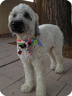 Wheaten Terrier Dog for adoption in Phoenix, Arizona - Amelia