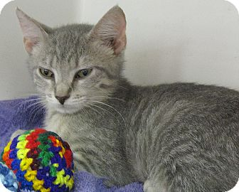 Domestic Shorthair Kitten for adoption in Seminole, Florida - Windy