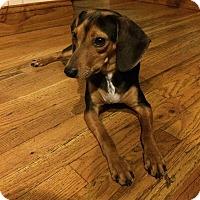 Adopt A Pet :: Marvelous Mufasa - Brooklyn, NY