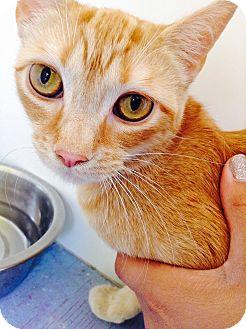 Domestic Shorthair Cat for adoption in Richboro, Pennsylvania - Carmen Electra