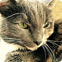 Domestic Shorthair Cat for adoption in Edmonton, Alberta - Heather Willow