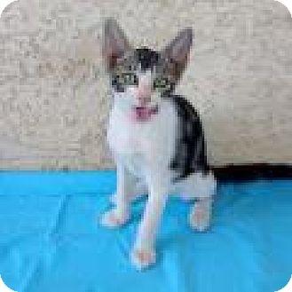 Oriental Kitten for adoption in Mission Viejo, California - Zeus