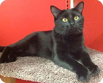 Domestic Shorthair Kitten for adoption in Merrifield, Virginia - Janet