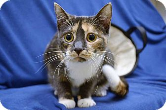 Domestic Shorthair Kitten for adoption in McCormick, South Carolina - Berta