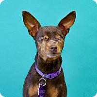 Adopt A Pet :: *Annamaet Kibble - Pittsburg, CA