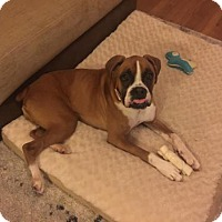 Adopt A Pet :: Dolly - Brentwood, TN