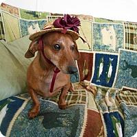 Adopt A Pet :: Bella Rose - Lubbock, TX