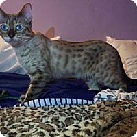 Adopt A Pet :: Chestnut - Lantana, FL