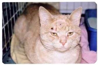 Domestic Shorthair Cat for adoption in cincinnati, Ohio - Casanova