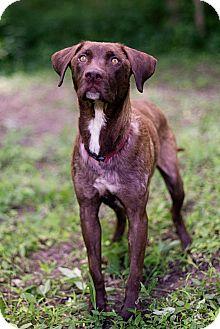 Labrador Retriever Mix Dog for adoption in Lewisville, Indiana - Diamond