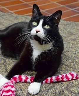 Domestic Shorthair Cat for adoption in Des Moines, Iowa - Benji