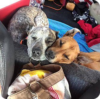 Basenji Mix Dog for adoption in Seattle, Washington - Remi