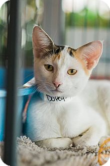 Domestic Shorthair Cat for adoption in New Orleans, Louisiana - Dopey