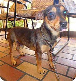 Chihuahua/Dachshund Mix Dog for adoption in Encino, California - Bruce