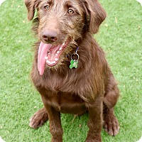 Adopt A Pet :: Chestnut - Litchfield Park, AZ