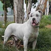 Adopt A Pet :: A1671660 at South LA - Beverly Hills, CA