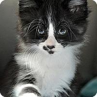 Adopt A Pet :: Rain - Fort Leavenworth, KS