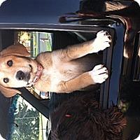 Adopt A Pet :: Callie - Medora, IN