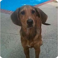 Adopt A Pet :: Eve - Alexandria, VA