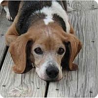 Adopt A Pet :: Buddy - Blairstown, NJ