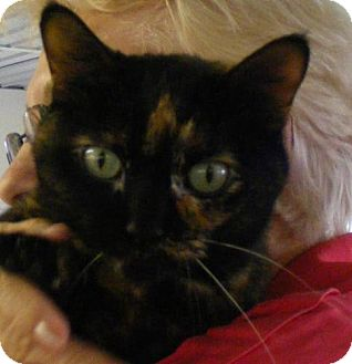 Domestic Shorthair Cat for adoption in East Smithfield, Pennsylvania - Star