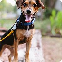 Adopt A Pet :: Gingham - Austin, TX