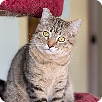 Domestic Shorthair Cat for adoption in Idyllwild, California - Bobbie