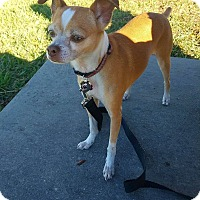 Chihuahua/Terrier (Unknown Type, Medium) Mix Dog for adoption in New Orleans, Louisiana - Jack