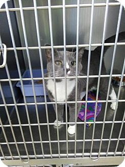 Domestic Shorthair Cat for adoption in Sauk Rapids, Minnesota - Vespar